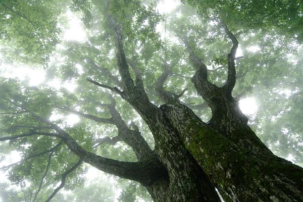 霧がかかったミヅナラの森林 ドングリ 巨木 大木 幻想的 画像3 無料写真素材 フリー「花ざかりの森」
