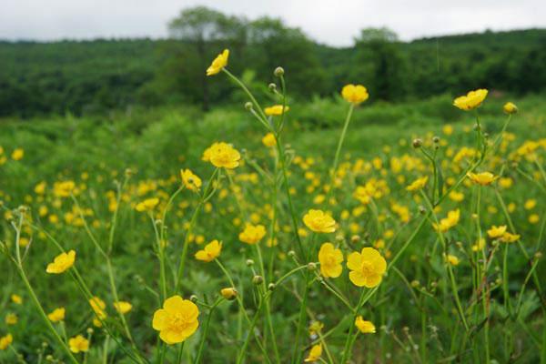 ウマノアシガタ(キンポウゲ)山野草4月5月6月 艶のある黄色い花 無料写真素材「花ざかりの森」