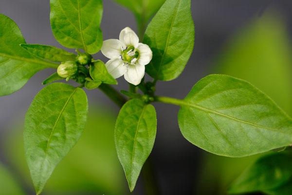 ピーマンの花 画像 無料写真素材 フリー写真素材