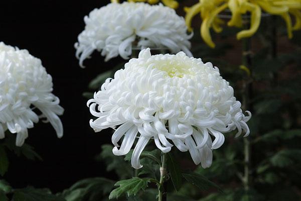 大輪の和菊 白色 画像1 無料写真素材 フリー